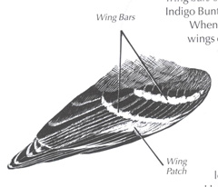 Illustration of bird's wing
