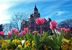 Tulips bloom in front of the Denton County Courthouse.