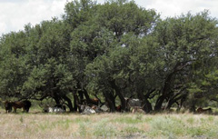 Longhorns lounging underneath a big oak tree