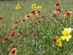 Red, orange, and yellow wildflowers in bloom