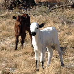 Two calves, one brown and one white