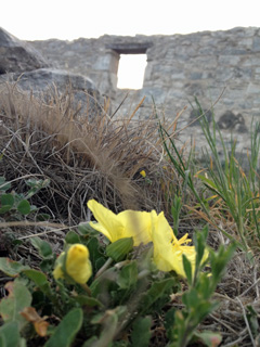Yellow flower with fort ruins in the background