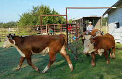 Hereford cattle from the Doyle ranch.