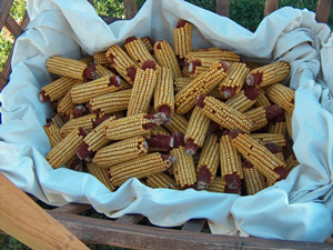 Dried dent corn.