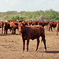 King Ranch Cattle