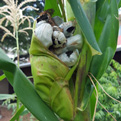 """Corn smut"" or huitlacoche."