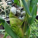 """Corn smut"" or huitlacoche."