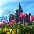 Tulips bloom in front of the Denton County Courthouse