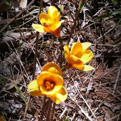 Three yellow copper lilies at Caddo Mounds
