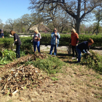 Limestone County Master Gardeners cut back antique roses in preparation for spring blooms.