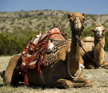 Camels during a special event.