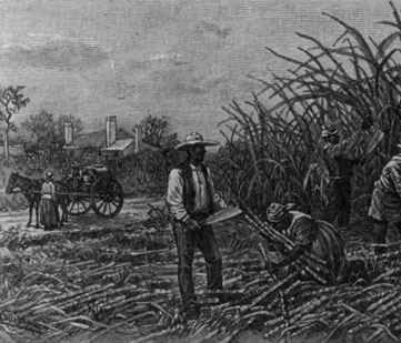 Historic illustration of slaves working in the fields.